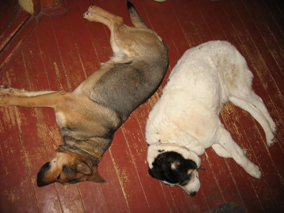 Суровая охранница Панда (алабай) и добрая Рысь (овчарка) на отдыхе