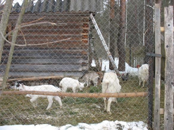 Козы с козлятами от альпийского козла