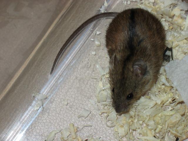 Полевая мышь