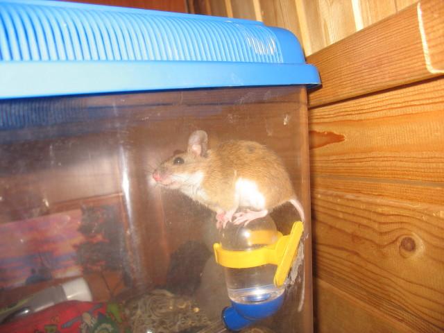 Домовая мышь Маша