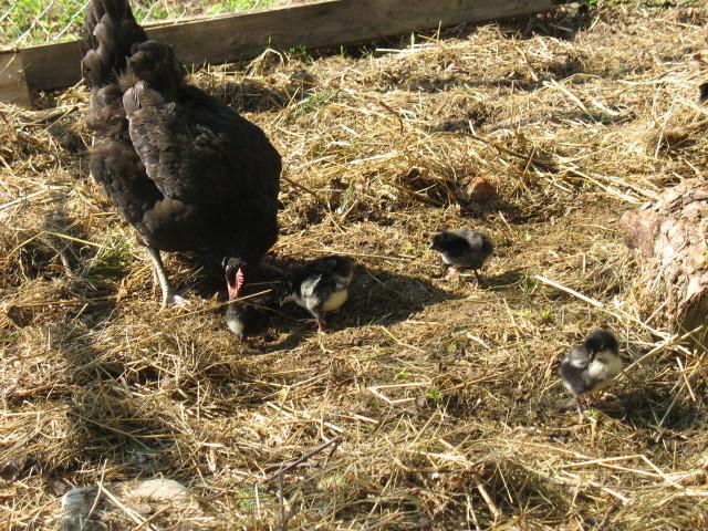 Клуша с цыплятами