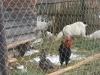 Куры, петухи и козы