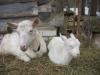 Комолая коза Гуля с дочкой