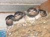 Птенцы - ласточки