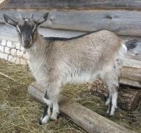 история козы