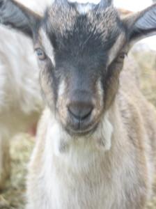 как мы завели козу