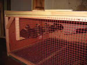 цыплята в вальере