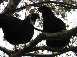 куры на дереве
