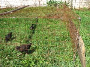 Клетка для выгула цыплят