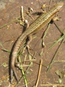 ящерица с раздвоенным хвостом